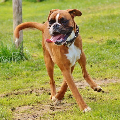 boxer-2.jpg