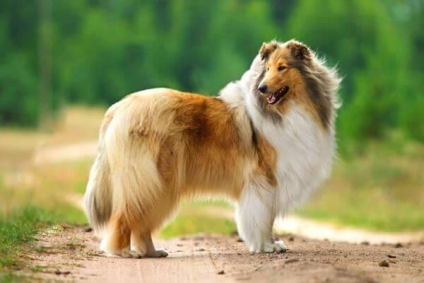perro-collie.jpg