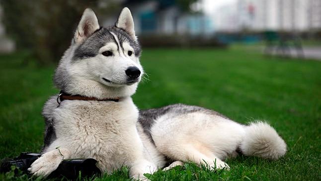 perro-lobo.jpg